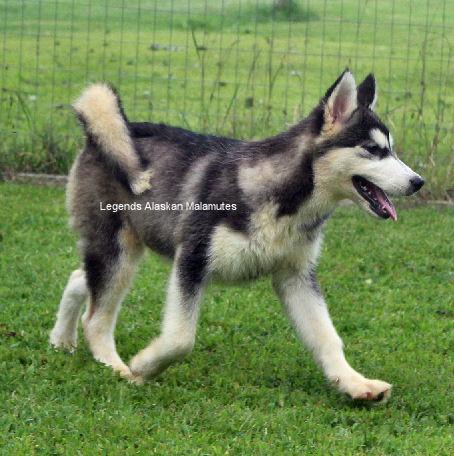 Giant Alaskan Malamute Puppy