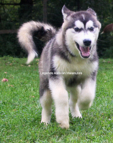 Giant Alaskan Malamute Puppies for Sale – Huge Grey Girls