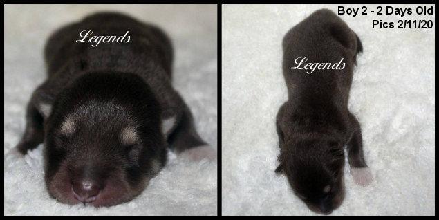Giant Alaskan Malamute Puppies